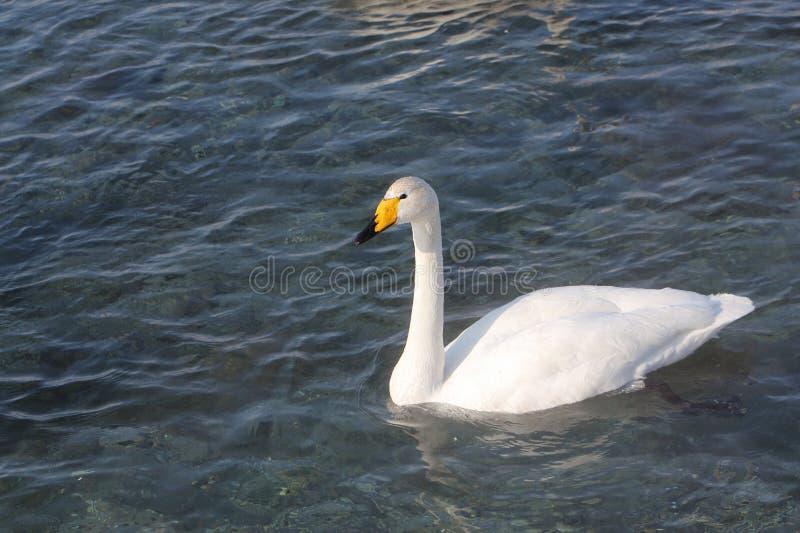 Natación del cisne de Whooper en el lago fotografía de archivo