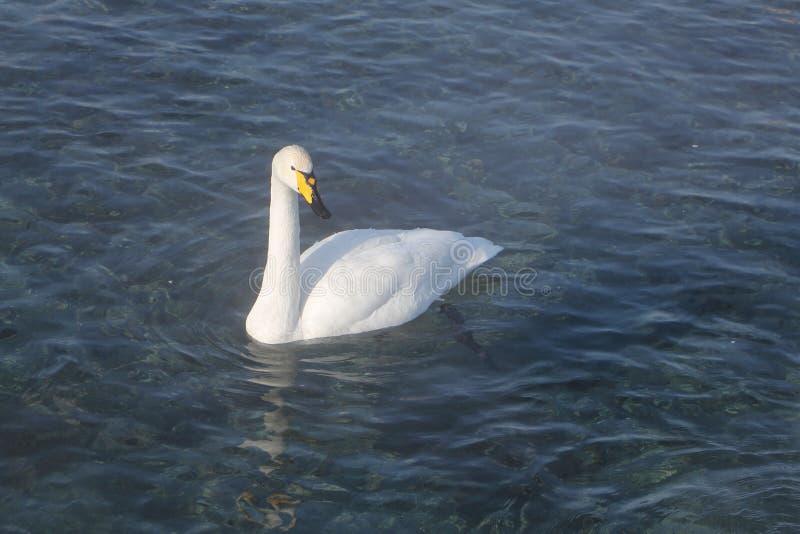 Natación del cisne de Whooper en el lago fotografía de archivo libre de regalías