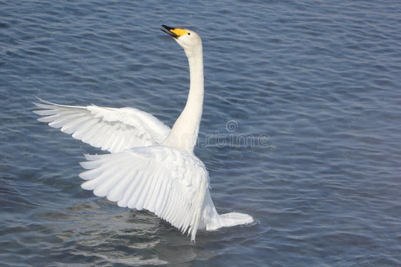 Natación del cisne de Whooper en el lago fotos de archivo libres de regalías