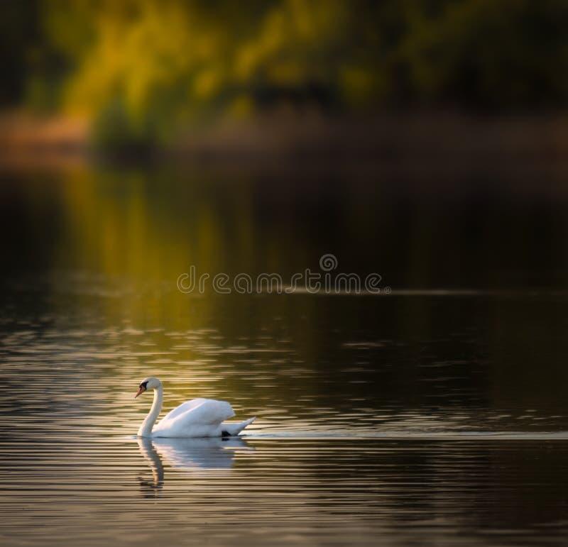 Natación del cisne en el lago durante día de aguas termales foto de archivo