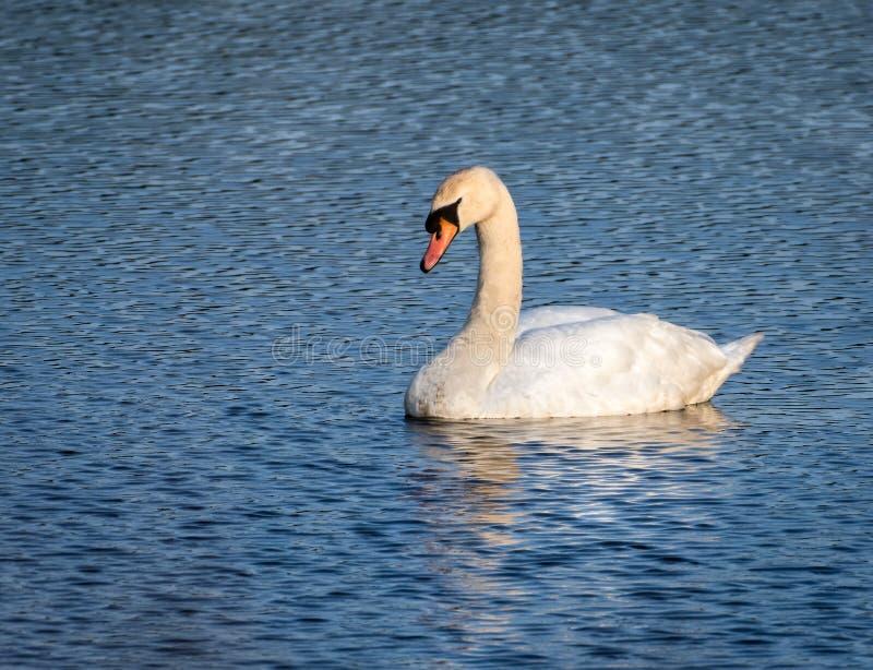 Natación del cisne en el mar en Inverkip Escocia Reino Unido el día de veranos imagen de archivo libre de regalías