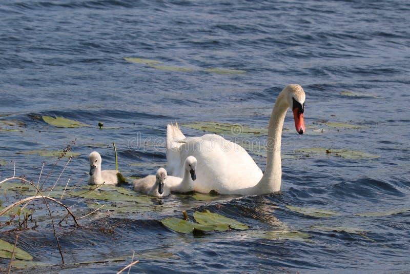 Natación del cisne mudo con tres pollos del cisne imagenes de archivo