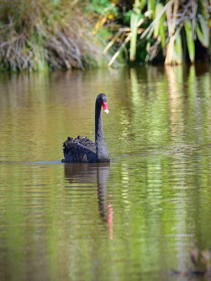 Natación del cisne negro en un lago en Travis Wetland Nature Heritage Park en Nueva Zelanda imágenes de archivo libres de regalías