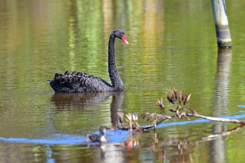 Natación del cisne negro en un lago en Travis Wetland Nature Heritage Park en Nueva Zelanda fotografía de archivo libre de regalías