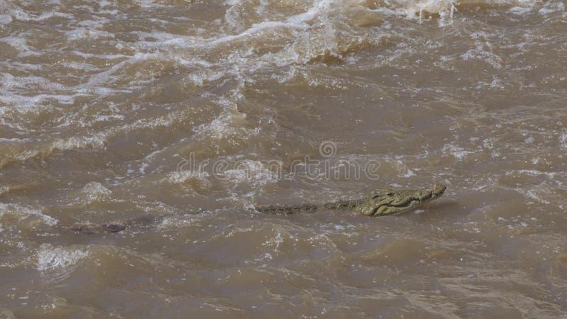Natación del cocodrilo del Nilo imágenes de archivo libres de regalías