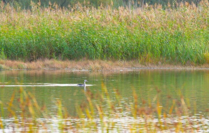 Natación del colimbo a lo largo de la orilla de un lago en otoño fotos de archivo