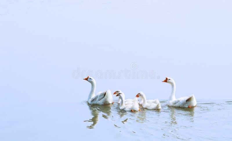Natación del ganso foto de archivo