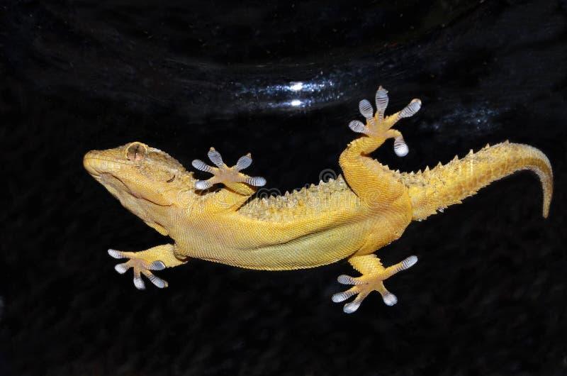 Natación del Gecko subacuática imagenes de archivo