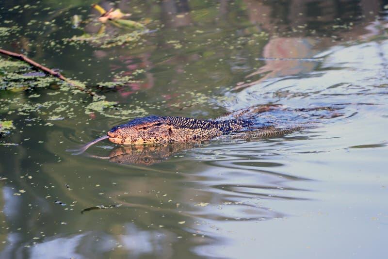Natación del lagarto de monitor en el agua fotos de archivo