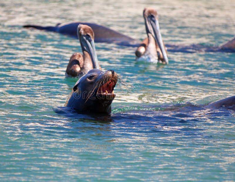 Natación del león marino de Caifornia con dos pelícanos cerca de Cabo San Lucas Baja MEX imagenes de archivo