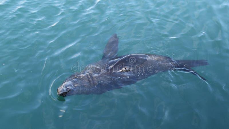 Natación del lobo marino del cabo foto de archivo libre de regalías