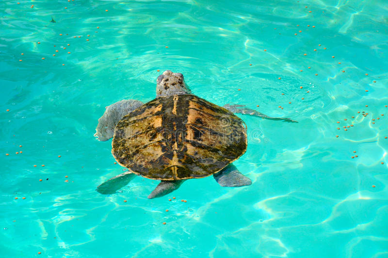 Natación del lora de la tortuga del ridley de Kemp en el mar fotografía de archivo
