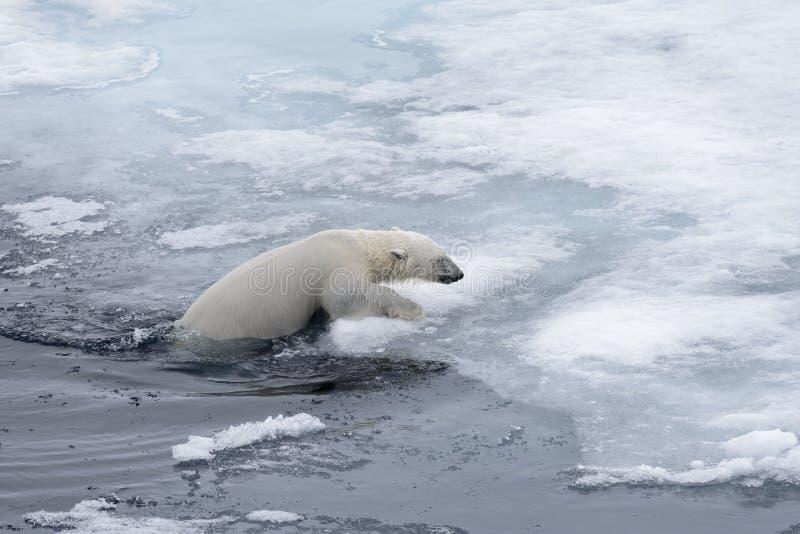 Natación del maritimus del Ursus del oso polar en cierre ártico del mar para arriba fotografía de archivo
