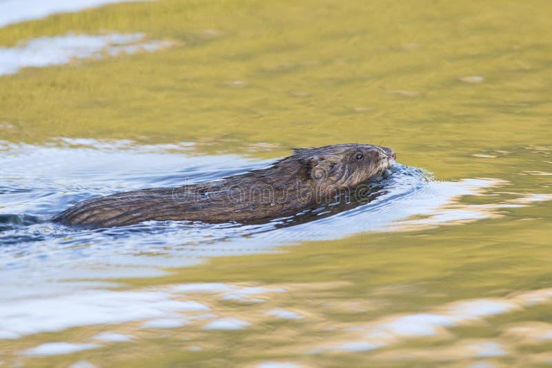 Natación del Muskrat en agua de oro fotos de archivo