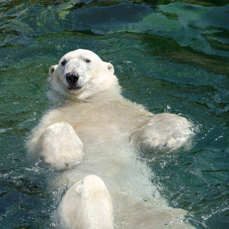 Natación del oso polar (maritimus del Ursus) en el agua foto de archivo