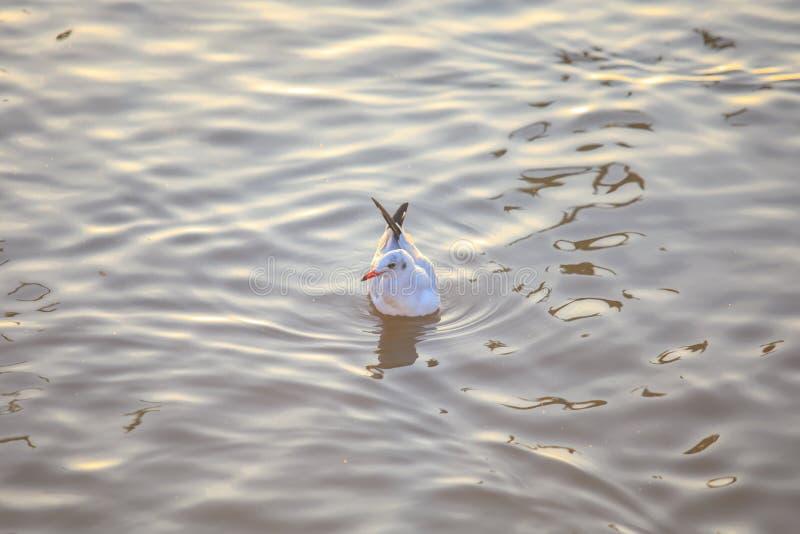Natación del pájaro de la gaviota en el mar en el poo de la explosión, Samutprakan, Tailandia fotos de archivo libres de regalías