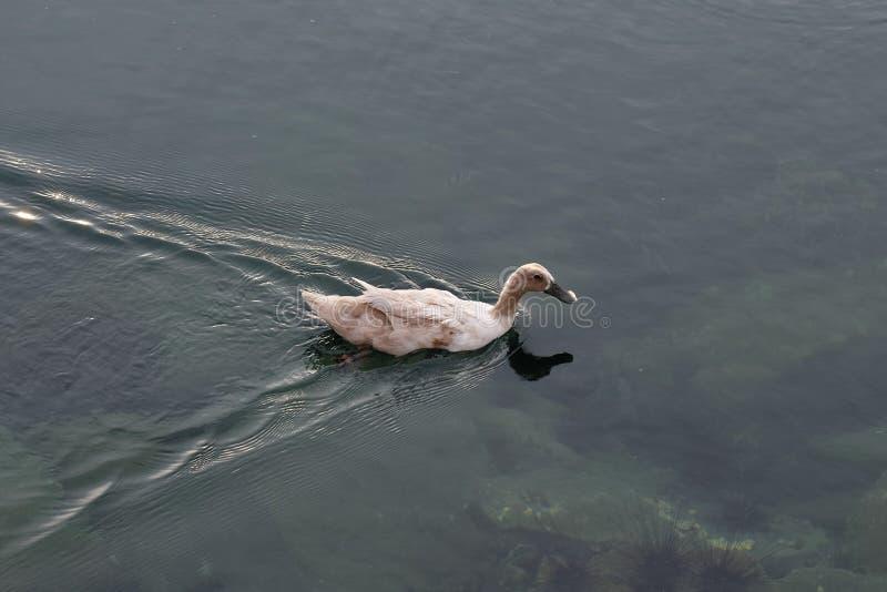 Natación del pato en el agua foto de archivo libre de regalías