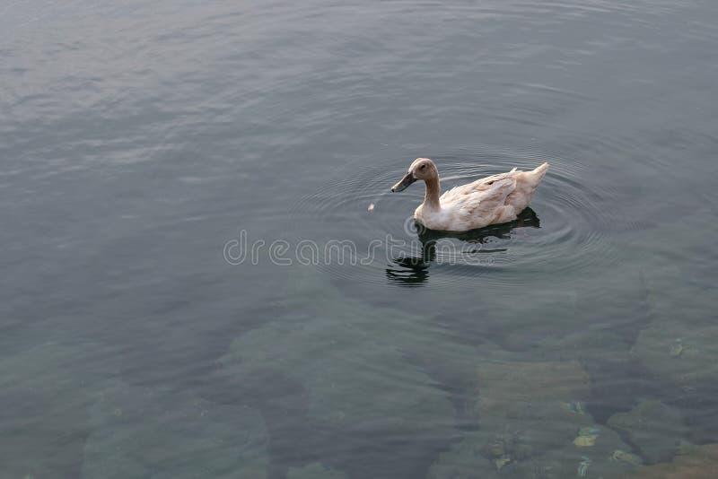 Natación del pato en el agua imágenes de archivo libres de regalías