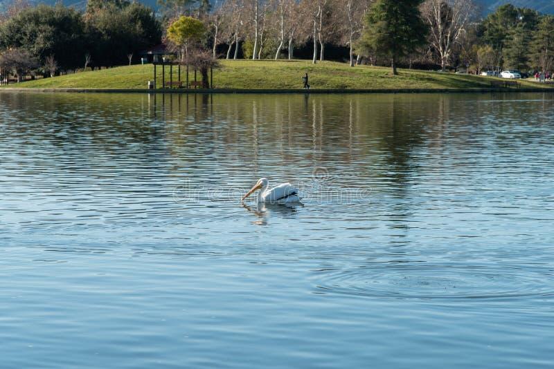 Natación del pelícano blanco en el balboa del lago en Los Angeles foto de archivo libre de regalías