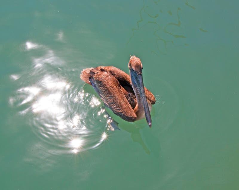 Natación del pelícano en el puerto deportivo de Cabo San Lucas en Baja México fotografía de archivo