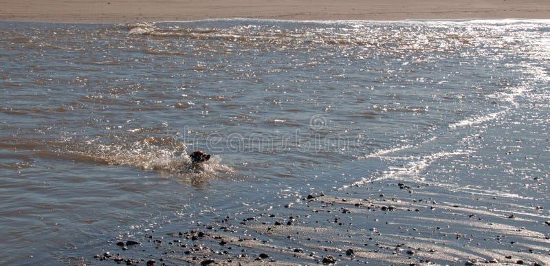 Natación del perro del perro de aguas de Bretaña en la boca del río Santa Clara y del Océano Pacífico en Ventura California los E imagenes de archivo