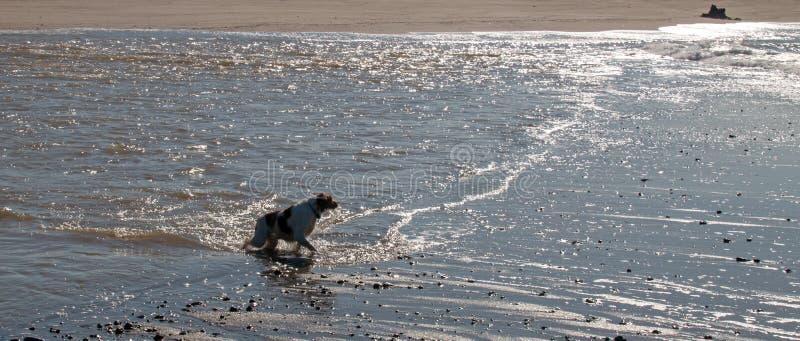Natación del perro del perro de aguas de Bretaña en la boca del río Santa Clara y del Océano Pacífico en Ventura California los E imagen de archivo libre de regalías