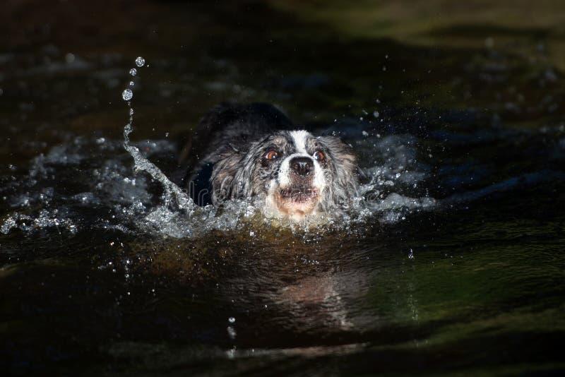 Natación del perro del border collie en un lago fotos de archivo libres de regalías