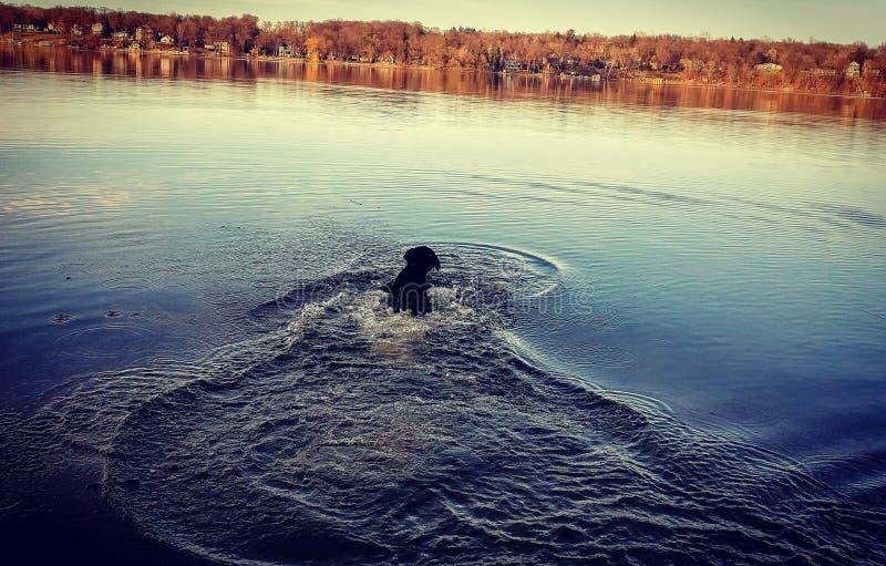 Natación del perro en el lago imagen de archivo libre de regalías