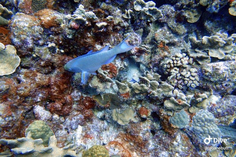 Natación del pez papagayo en el océano imagen de archivo libre de regalías