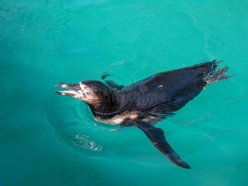 Natación del pingüino de Humboldt foto de archivo libre de regalías