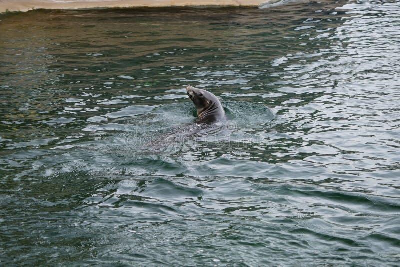 Natación del retrato del león marino en agua imagen de archivo libre de regalías