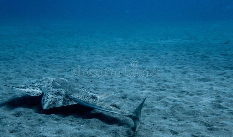 Natación del squatina de Angel Shark Squatina sobre la arena foto de archivo