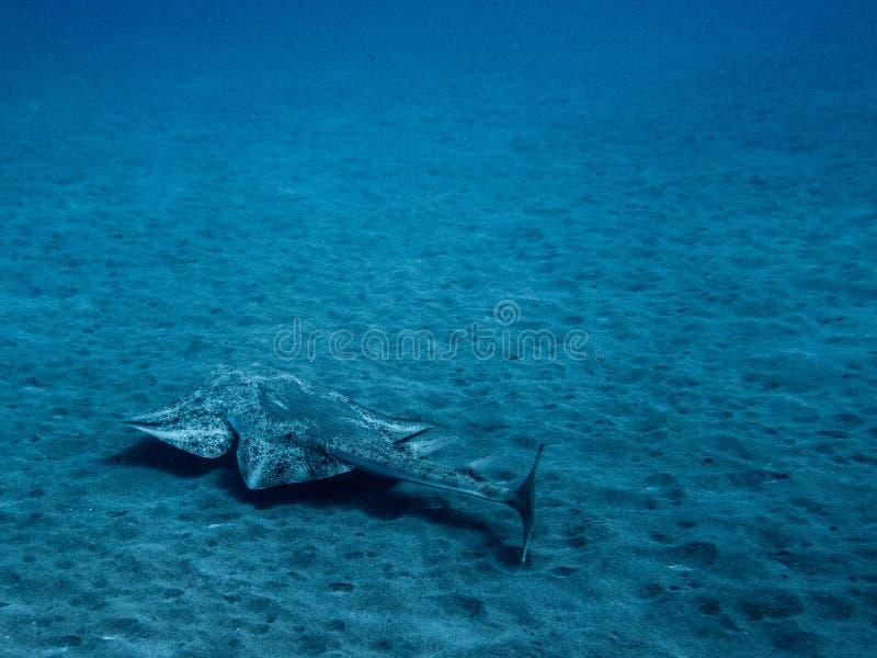 Natación del squatina de Angel Shark Squatina sobre la arena imagen de archivo