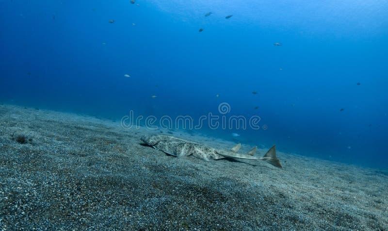 Natación del squatina de Angel Shark Squatina sobre la arena fotos de archivo libres de regalías
