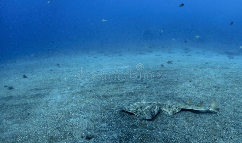 Natación del squatina de Angel Shark Squatina sobre la arena imágenes de archivo libres de regalías