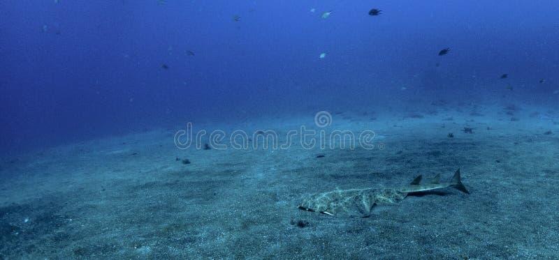 Natación del squatina de Angel Shark Squatina sobre la arena foto de archivo libre de regalías