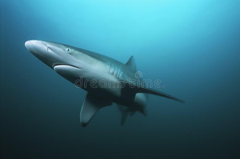 Natación del tiburón de tigre de Suráfrica del Océano Índico del bajío de Aliwal (cuvieri del Galeocerdo) en el océano fotografía de archivo libre de regalías