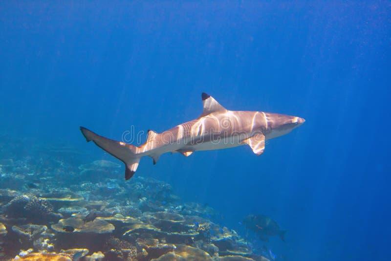 Natación del tiburón sobre el filón coralino imágenes de archivo libres de regalías