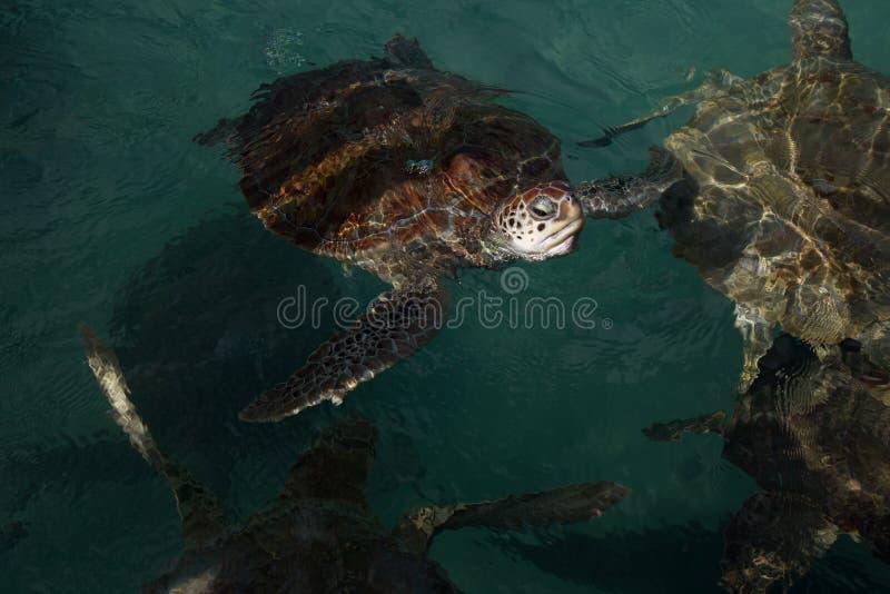 Natación en peligro de la tortuga de mar del hawksbill en agua texturizada verde oscuro fotografía de archivo libre de regalías