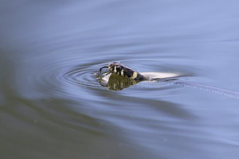 Natación espeluznante de la serpiente de hierba en la charca imagen de archivo libre de regalías