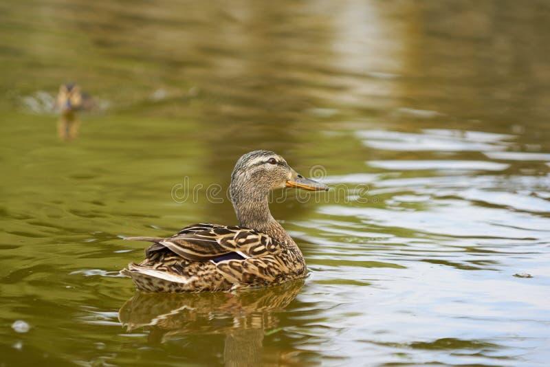 Natación femenina del pato con un pequeño anadón detrás en un lago imagen de archivo libre de regalías