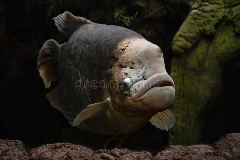 Natación gigante de los pescados del Osphromemus gorami foto de archivo libre de regalías