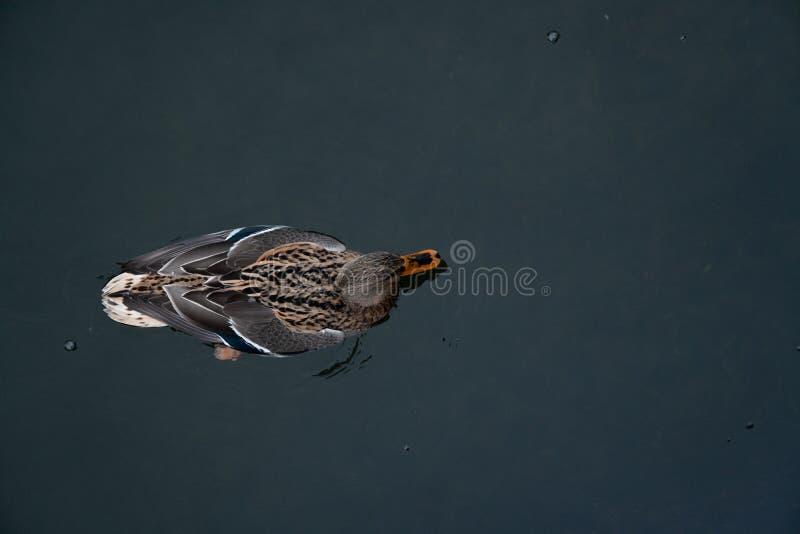 Natación hermosa del pato en el río frío en invierno fotografía de archivo