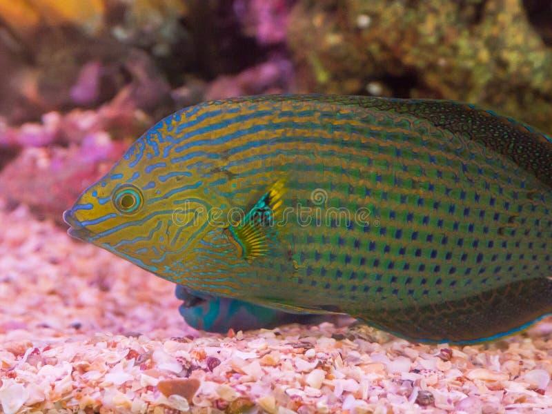Natación hermosa del scaridae del pez papagayo del color en un acuario fotos de archivo libres de regalías