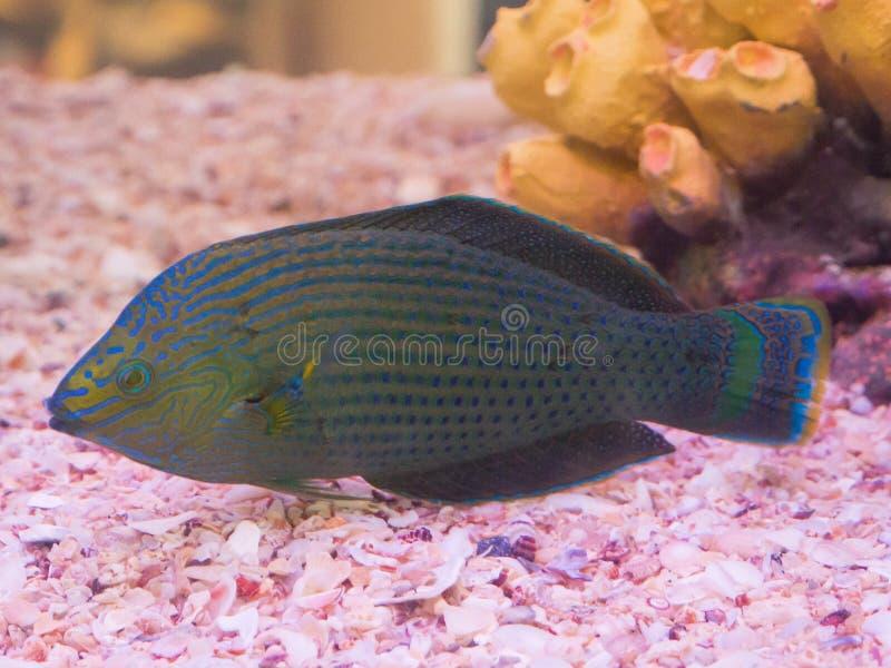 Natación hermosa del scaridae del pez papagayo del color en un acuario imagenes de archivo