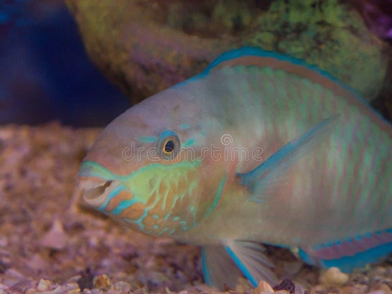 Natación hermosa del scaridae del pez papagayo del color en un acuario imágenes de archivo libres de regalías