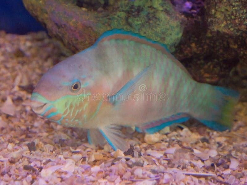 Natación hermosa del scaridae del pez papagayo del color en un acuario fotografía de archivo