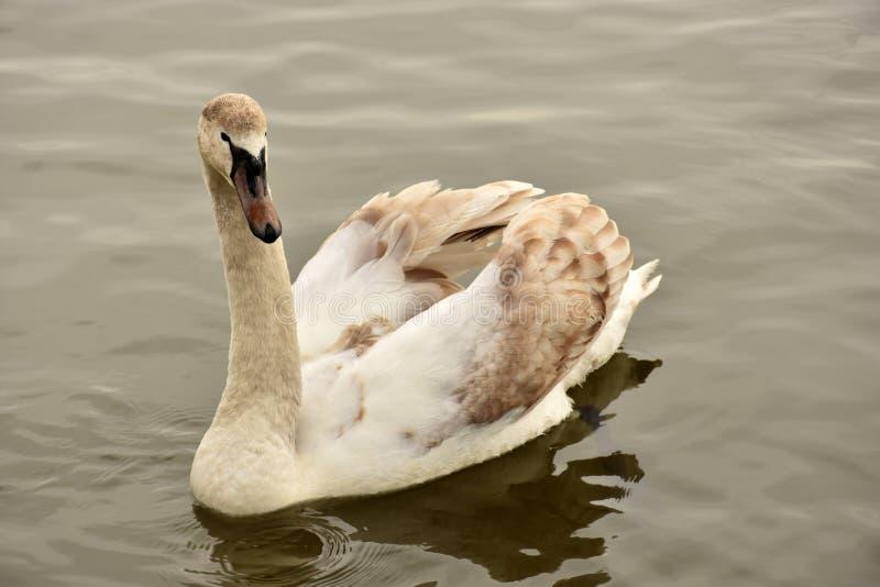 Natación joven del cisne fotografía de archivo
