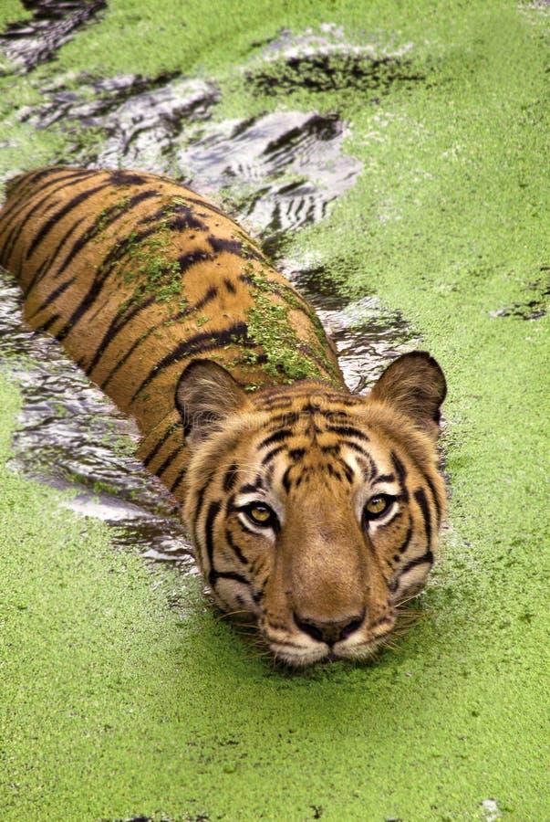 Natación real del tigre de Bengala en agua imagen de archivo libre de regalías