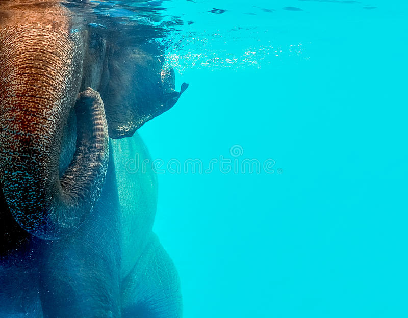 Natación salvaje del elefante en el agua foto de archivo